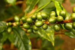 Green coffee. Colombia. Coffee beans, maturing. Colombian plantations, between mountains of the Cordillera Central, in Colombia. Zone of high quality coffee,