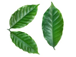 Green coffee leaf on white background.