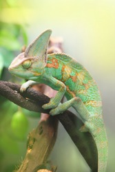 green colorful chameleon sitting on the branch - wild animal close up view.