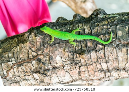 Green colourful Gecko on a tree in Seychelles. #723758518