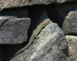 Green common lizard (Viviparous lizard) on a dry stone wall.
