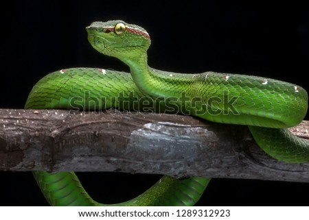 Green Common Viper 2001024 - Exotic Reptile Animal Photo Collection