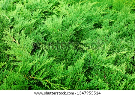Green Conifer