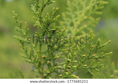 Green conifer thuja branches close up