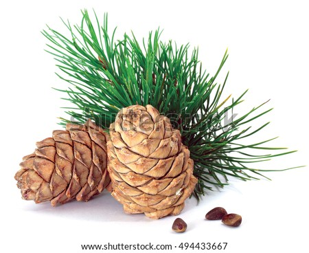 Green coniferous cedar branch with cones closeup on white isolated
