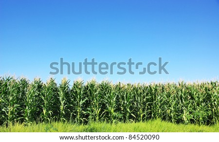 Green Corn field at Portugal