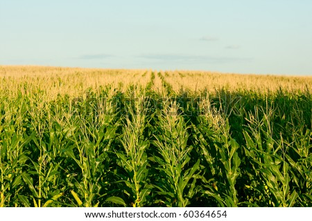 green corn field - fresh and clean vibrant colors