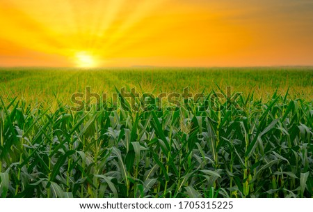 Photo of  green corn field in agricultural garden and light shines sunset
