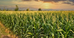 green corn field in agricultural garden and light shines sunset in the evening Mountain background. Thailand