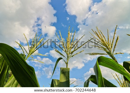 Green corn field in Thailand, Maize flower and the blue sky background/Maize flower in the corn farm, corn field with blue sky, #702244648