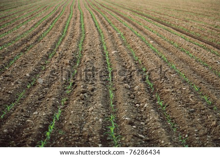 green corn germ on a field
