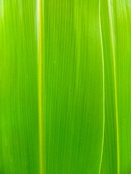 Green corn leaf close up. Leaves of maize. Nature leaves background.