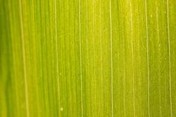 Green corn leaf closeup with backdrop