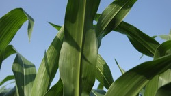 Green corn leaves against blue sky - cornfield