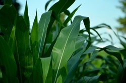 green corn leaves on the field close-up