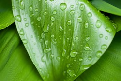 green corn leaves with raindrops