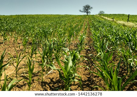 Green corn maize plants on a field. Agricultural landscape in Bakony, Hungary Stock fotó ©