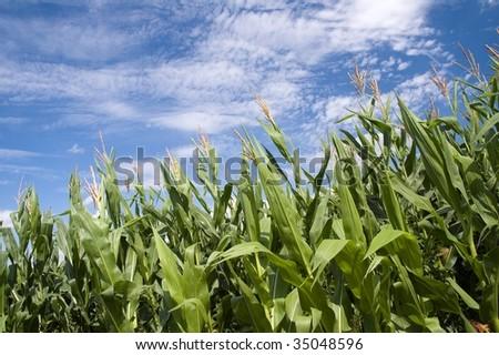 Green cornfield and blue sky