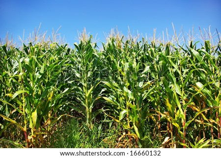 Green cornfield in farm.