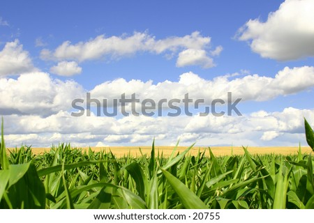Green cornfield in the foreground, a golden wheat field in the middle, and blue skies.