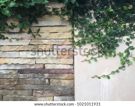 Green creeper leafs on vintage stone wall texture #1021011931