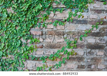 Green Creeper Plant growing on a brick wall