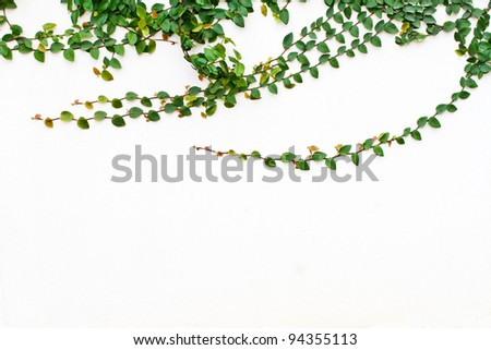 Green Creeper Plant growing on white wall