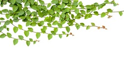 Green Creeper Plant isolated