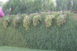 Green creeping plants wall with little pink flowers. Perfect greenery background. Green lush of creeping plants.
