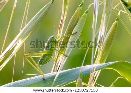 Green cricket in the fresh grass under first rays of the morning sun, dawn light, dawn patrol #1250729158