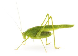 Green cricket isolated on a white background.