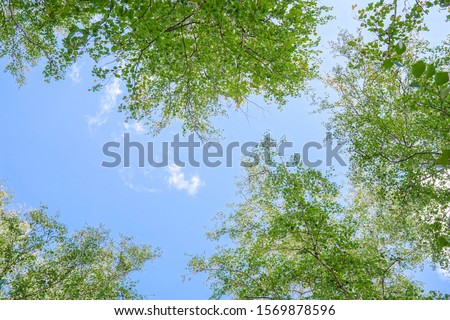 Green crown trees view from below into the blue sky. Green crown of trees against the sky. View of the sky through the trees from below Stock photo ©