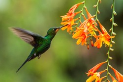 Green-crowned Brilliant, Heliodoxa jacula, hovering next to orange flower, bird from mountain tropical forest, Panama, beautiful hummingbird sucking nectar from blossom, wildlife scene, nature