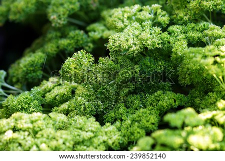 Green curly parsley grows on grace. #239852140