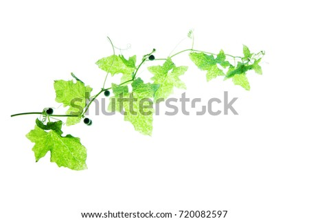 Green curly twig with berries and tendrils isolated on white #720082597