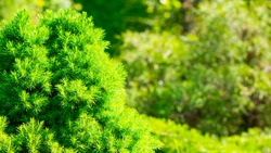 Green cypress. Green bush. Background with cypress in sunny weather. Cypress tree branch in garden. Copy space