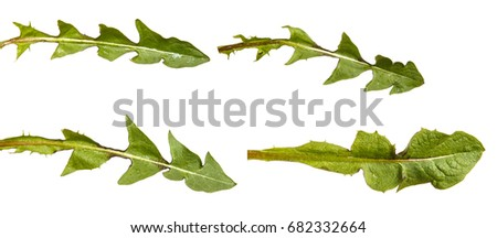 Green dandelion leaves. Isolated on white background. Set #682332664