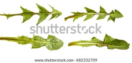 Green dandelion leaves. Isolated on white background. Set #682332709