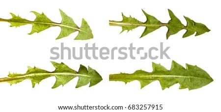 Green dandelion leaves. Isolated on white background. Set #683257915