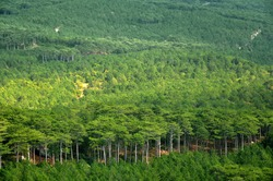 Green deciduous forest growing in the mountains. Crimean peninsula.