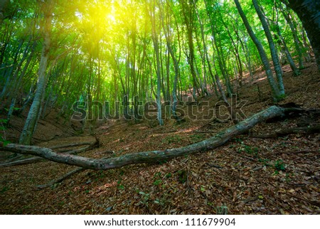 Green deciduous forest in the morning sun
