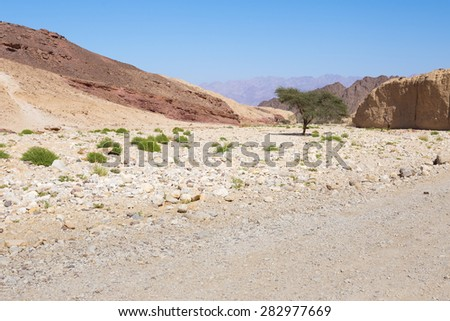 Green desert tree inside dry riverbed canyon gorge between colorful rock cliffs, Negev, Israel. Jordan mountains visible.