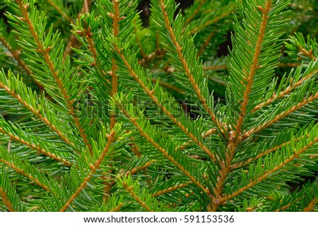 Green details of Alpine fir branches and leaves #591153536