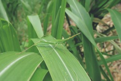 Green disguise grasshopper on corn leaf