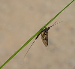 Green Drake Mayfly Ephemera danica male in spring with greengrass field background
