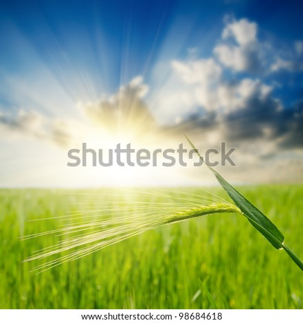 green ear over field and sunset. soft focus