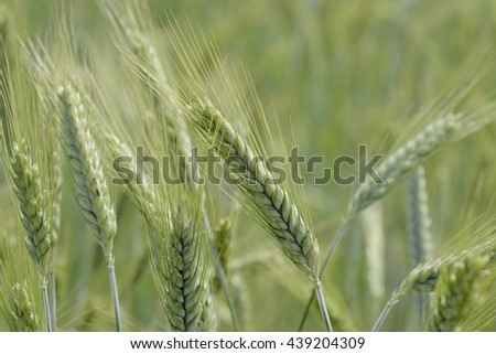 Green Ears of wheat in the field #439204309