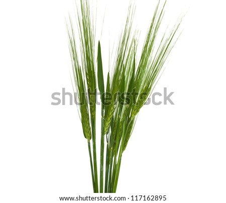 green ears of wheat isolated on white background