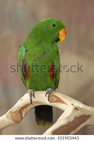 Green Eclectus Parrot looking at camera