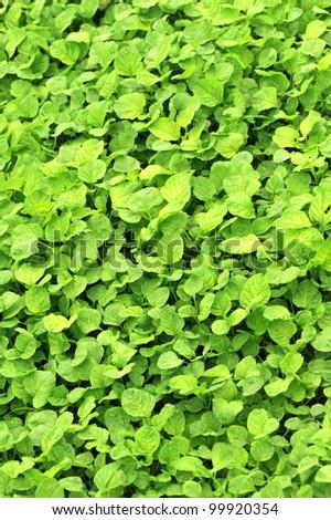 green edible amaranth